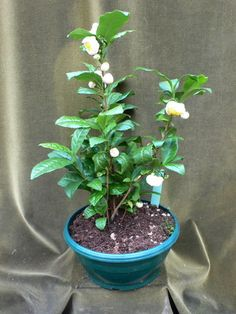 Camellia sinensis echter Tee
