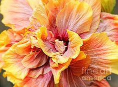 Macro shot of a Tropical Hibiscus flower:)