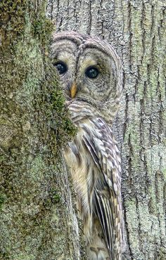 """Barred Owl Peek-a-Boo"" by Jennie Marie"