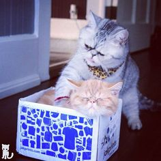 You likely to catch a cold with your fur like dat. Lemme tuck you in proper.  #exoticshorthair #cat #cute #instacat #flatface  #cats #catsagram  #animallovers #kitten #meow #pet #mreggs #catlover #petsagram #catstagram #exoticsofinstagram #smushface #katze