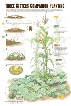 Homestead Gardens, Farm Gardens, Growing Vegetables, Growing Plants, Companion Gardening, Vegetable Companion Planting, Companion Planting Chart, Gardening Tips, Potager Bio