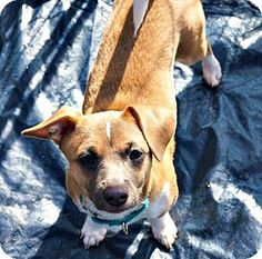 Durham, NC - Terrier (Unknown Type, Small) Mix. Meet Mario, a puppy for adoption. http://www.adoptapet.com/pet/14673027-durham-north-carolina-terrier-unknown-type-small-mix