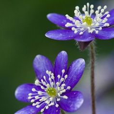 Hepatica, Hepatica acutiloba - Spring Perennials from American Meadows
