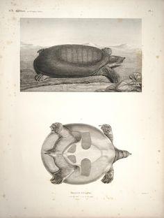 Trionyx. Description de l'Égypte Histoire naturelle, Plates Paris,Imprimerie impériale,1809-28. Biodiversitylibrary. Biodivlibrary. BHL. Biodiversity Heritage Library