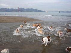 ❤ Incoming tide of BULLDOGS! ❤ The San Francisco English Bulldog Meetup Group (San Francisco, CA)