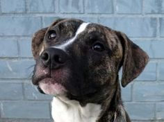 GODDIE is an adoptable Pit Bull Terrier Dog in Brooklyn, NY. A volunteer writes: This 9 month old doggie is a real people pleaser. He is a beautiful male dog with a lovely brindle coat overall and a w...