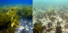 One of the largest kelp forests on Earth is dying because of climate change. Australia's Great Southern Reef has lost 100 kilometers of coastline to a series of extreme heatwaves from 2011 to 2013, according to research published this week in Science—and the problem is getting worse.