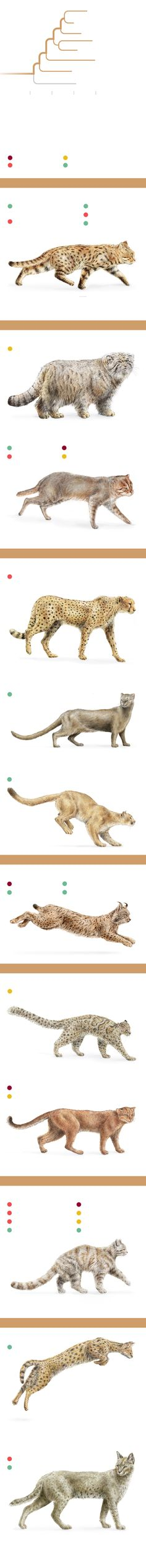 Elusive, obscure, and eclipsed in popularity by their larger cousins, small cats are amazing, high-performance predators.