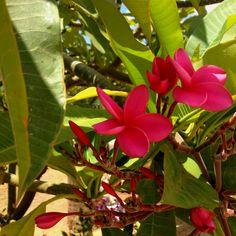 Pink Plumeria flowers. Maui Maui Maui Maui.
