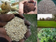 Validated and Potential Medicinal Rice Formulations for Diabetes Type 2 and Leukemia Complications (TH Group-198) from Pankaj Oudhia's Medicinal Plant Database