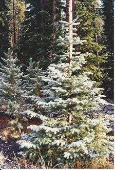 in 1993 on way to Crater Lake, it had rained on me the day before & snowed here.  little xmas tree.  OR