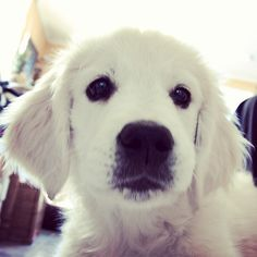 Things we enjoy about the Outgoing Golden Retriever Dog White Golden Retriever Puppy, Golden Retrievers, Animals Beautiful, Cute Animals, Best Dog Breeds, Dog Friends, I Love Dogs, Fur Babies, Pets