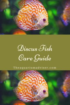 Discus fish care guideThe Effective Pictures We Offer You About Fishes food A quality picture can tell you many things. You can find the most beautiful pictures that can be presented to you about beautiful Fishes in this account. Discus Tank, Discus Aquarium, Aquarium Setup, Discus Fish, Freshwater Aquarium Fish, Aquarium Fish Tank, Planted Aquarium, Betta Fish, Aquarium Ideas