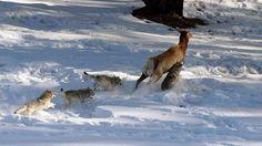 Las manadas de lobo, al contrario de lo que se pueda pensar, no destacan por su estrategia ni su val... - Externa