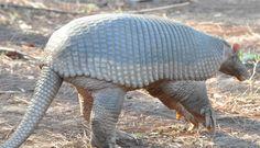 O tatu-canastra (Priodontes maximus), também conhecido como tatuaçu, é uma espécie de tatu de grandes dimensões, encontrado na maior parte da América do Sul. Tais tatus chegam a medir mais de 1 metro de comprimento. Corre grande risco de extinção. http://pt.wikipedia.org/wiki/Tatu-canastra