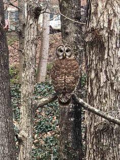 Neighbor's owl