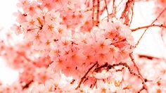 Krieg der Kirschblüten - Woher stammt der Kirschblütenbaum? | © Yoshikazu TAKADA via Flickr