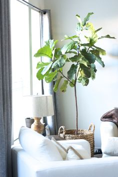 figue tree indoor tall indoor plantsindoor plants low lightindoor
