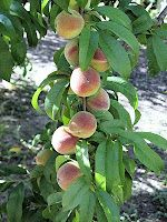 Pruning a peach tree EVERY YEAR, because peaches won't grow on branches that are 2+ years old. Who knew?! I'm learning.... Link:http://frontrangefoodgardener.blogspot.com/search/label/Pruning%20fruit%20trees