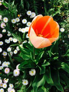 #nature#garden#tulip#daisies#love#:)#<3#Hungary#orange#green#white