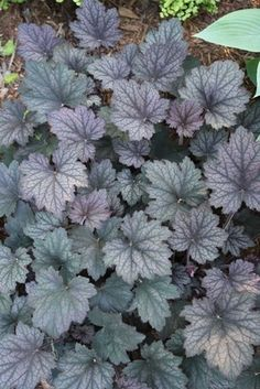 """Heuchera 'Frosted Violet' PP 15,085 (Frosted Violet Coral Bells)  Zone: 4a to 8a, Height: 12"""" tall Culture: Part Sun to Light Shade The attractive, pink-purple foliage with darker veining adorns the huge 2' or wider clump. In late spring, Heuchera 'Frosted Violet' is topped with 30"""" flower spikes of small, light pink flowers. This vigorous grower is a real winner...especially for East Coast gardeners. -"""