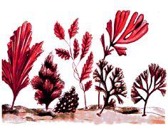 Beneficios y propiedades medicinales de las algas marinas comestibles