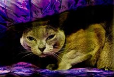 Amazing Photos From The 2017 Supreme Cat Show – 24 Pics