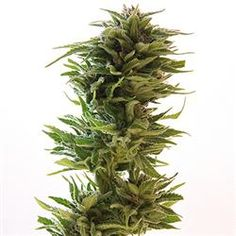 Amnesia Lemon  Cannabis Cup: Vencedora da Sativa Cup 2007  Safra: 500 gr/m2  Altura:    70-80 cm  THC: 20.5%  Florescimento:    65-75 dias  Genética: Skunk#1/Amnesia Haze  http://www.sementemaconha.com/amnesia_lemon-p1368/#
