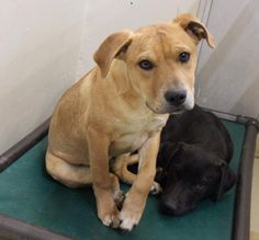02/26/17-ODESSA,TX-SUPER URGENT - Speaking Up For Those Who Can't  ·    K-9 is a male Staffordshire Terrier mix 4-6 months old  Kennel A13  $125 to adopt (that includes neuter, all shots, chipped and heart worm tested)  ADOPT/RESCUE/FOSTER   Located at Odessa, Texas Animal Control.