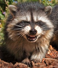 What's so funny? This raccoon looks like he has just heard the punchline of a joke. Maybe he is a bit of a raccoonteur