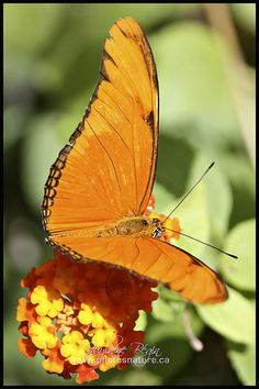 ~~Julia Dryas Butterfly by Guylaine Begin~~ LOOK!  HE'S SITTING ON STINKWEED!!!   OH, I MEAN LANTANA ;{}