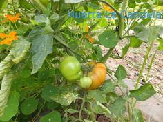 tomate gorety ecologico