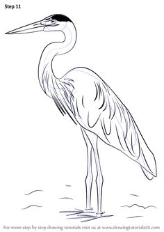 Learn How to Draw a Great Blue Heron (Birds) Step by Step : Drawing Tutorials