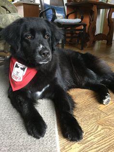 Chien Mira, Labrador, Pets, Animals, Cute Animals, Dogs, Animales, Animaux, Labradors