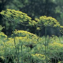 Long Island Mammoth Dill - Anethum graveolens    A long-time favorite. Vigorous 2 to 3 foot plants produce large umbels covered with masses of seed. Matures quickly.