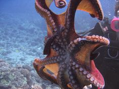 Google Image Result for http://aquaviews.net/wp-content/uploads/2009/12/octopus2.jpg