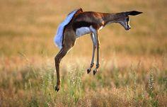 Image detail for -Springbok-strange animal - The Fastest Animals in the World Animals Of The World, Animals And Pets, Cute Animals, Strange Animals, Wild Animals, Beautiful Creatures, Animals Beautiful, Game Reserve, Wild Dogs