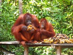 #OrangUtan feeding station at #TanjungPuting #Borneo, Indonesia