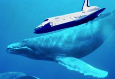 The Space Shuttle Enterprise on... a humpback whale?