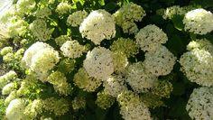 2014 Hortensia white