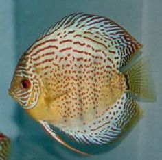 Red Spotted Green Discus Fish Picture.