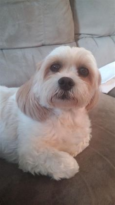 Found Dog - Lhasa Apso - Ottawa, ON, Canada K1K 1P5 on September 05, 2014 (13:00 PM)