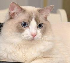 導讀:家有小朋友或老人的家庭,如果能養隻善解人意的貓咪,不止能夠讓老人不孤單,也能陪伴小朋友學會分享與愛。對於小朋友來說,貓咪脾氣要非常好,忍耐性要很強大,才能忍受小朋有的調皮。以下文章愛貓的妳一起來了解。