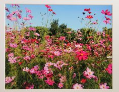 8x10 Field of pink Cosmos flower garden by RoadAheadPhotos on Etsy