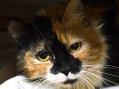 NYC **Beautiful Scared Girl** TO BE DESTROYED 02/21/15 POOKYFACE allows the stroke but remains fearful & unresponsive to the touch, while she lip licks ID#A1027657.  Female calico & white about 6 YEARS old. STRAY. I came in with Group/Litter #K15-003712. https://www.facebook.com/nycurgentcats/photos/a.958334490851205.1073742600.220724831278845/958334534184534/?type=3&theater