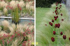 Graminées orpins tulipes
