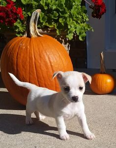 Boo is an adoptable Chihuahua searching for a forever family near Marlton, NJ. Use Petfinder to find adoptable pets in your area.