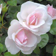 """<3 La rose """"Jardin de Granville"""", Christian Dior"""