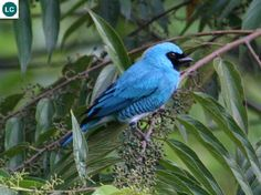 https://www.facebook.com/WonderBirdSpecies/ Swallow tanager (male)(Tersina viridis); South America; IUCN Red List of Threatened Species 3.1 : Least Concern (LC)(Loài ít quan tâm) || Chim Tanager Én (trống); Nam Mỹ; Họ Tanager-Thraupidae.