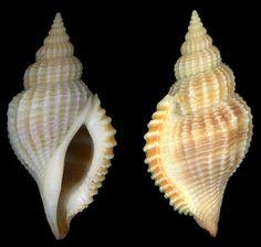 Rimella crispata (G. B. Sowerby II, 1842)